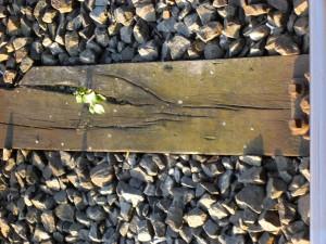 Pflanze auf Bahnschiene